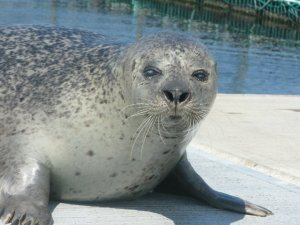Henry the harbor seal